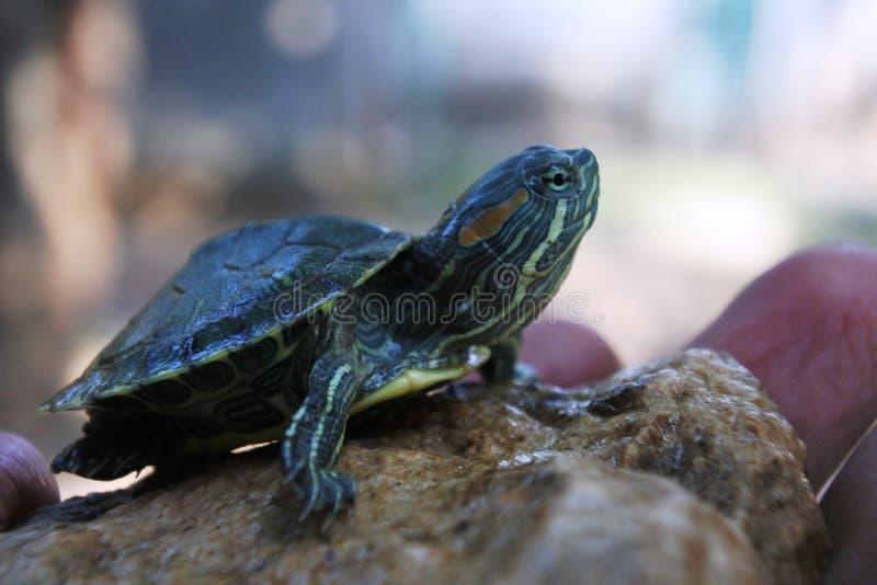 pequenas tartarugas brasileiras na rocha imagens de stock