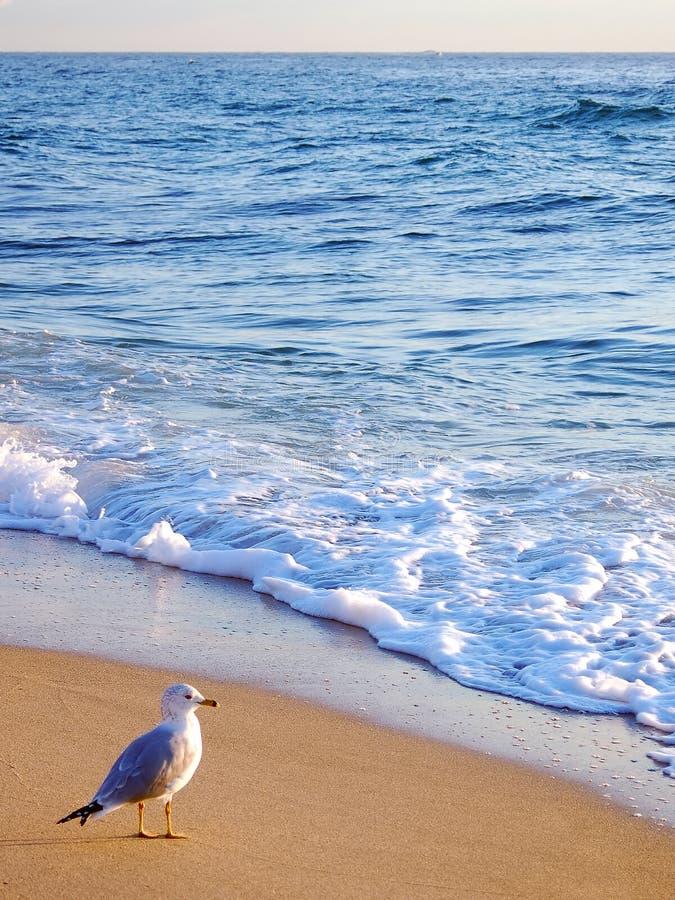 Pequeno almoço da gaivota fotos de stock royalty free