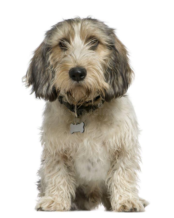 Pequeno Basset Griffon Vendeen, 7 meses velho, imagem de stock royalty free