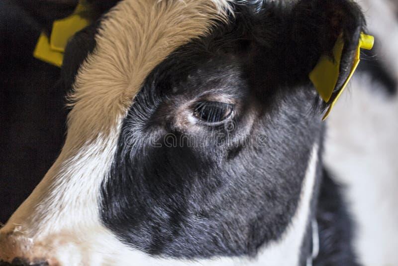 Pequeno bezerro no armário da fazenda, vida animal na fazenda imagens de stock