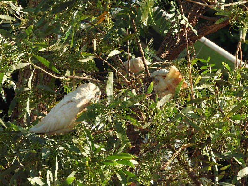 ` Pequeno bonito s de Corella dos pássaros que procura a Austrália Ocidental do alimento imagem de stock