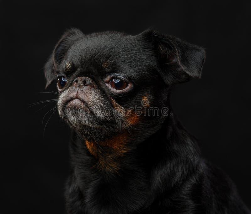 Pequeno cão do brabancon fotografia de stock