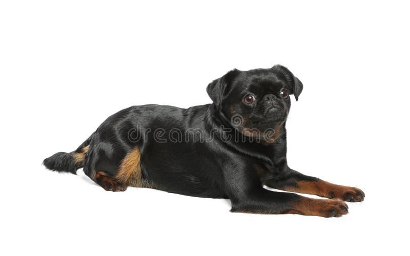 Pequeno cão preto adorável de Brabancon que encontra-se no branco foto de stock