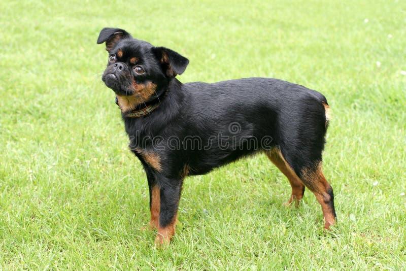 Pequeno cão preto de Brabancon foto de stock