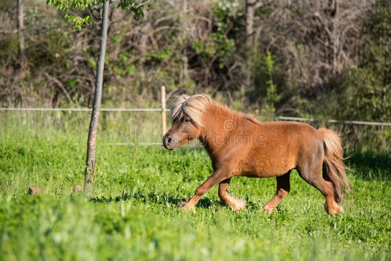 Pequeno de Shetland do cavalo de Brown mini foto de stock