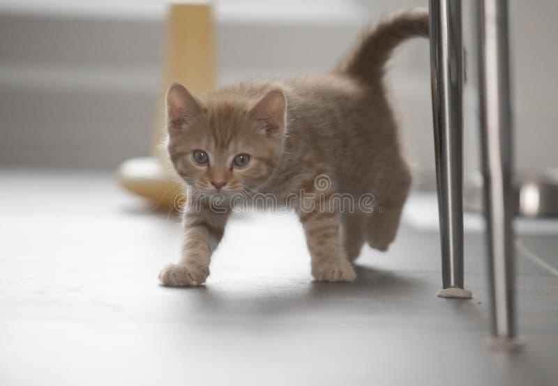 Pequeno gatinho andando por dentro foto de stock