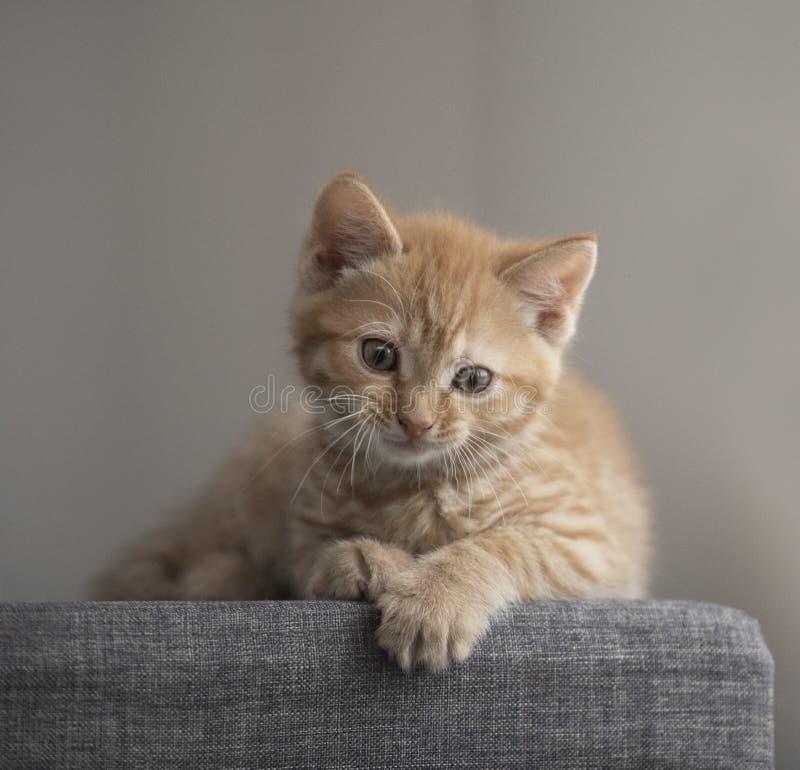Pequeno gatinho gengibre de 8 semanas de idade fotografia de stock royalty free