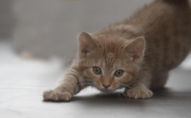 Pequeno gatinho lentamente se movendo em direção ao seu brinquedo foto de stock royalty free