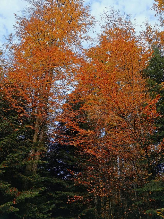 Pequeno grupo de árvores de outono imagens de stock