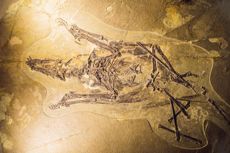 Pequim China, o 16 de outubro de 2018: fóssil do terodactyl, Pterodactilus Spectabilis, fóssil de animais pré-históricos, fóssil fotos de stock royalty free