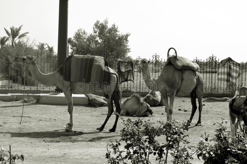 Pequim, foto preto e branco de China ?nicos-humped camelos ou dromedars africanos imagens de stock royalty free