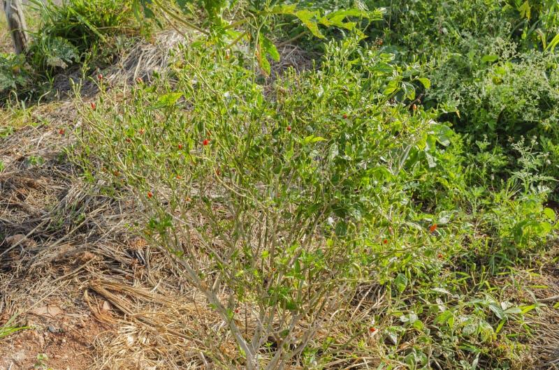 Pequin träd med Fruis arkivfoto
