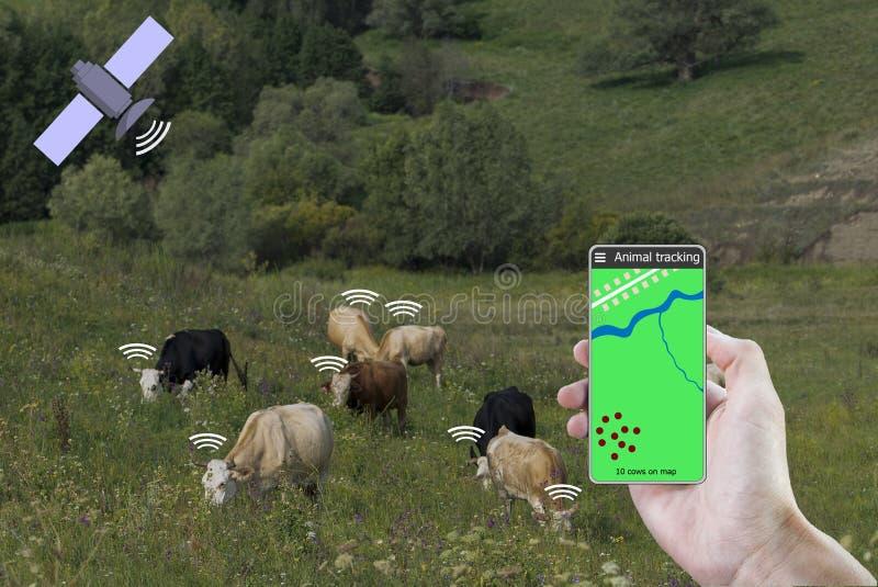 Per mezzo di uno smartphone e di un sensore sulla mucca determini la posizione della mucca Agricoltura astuta fotografie stock libere da diritti