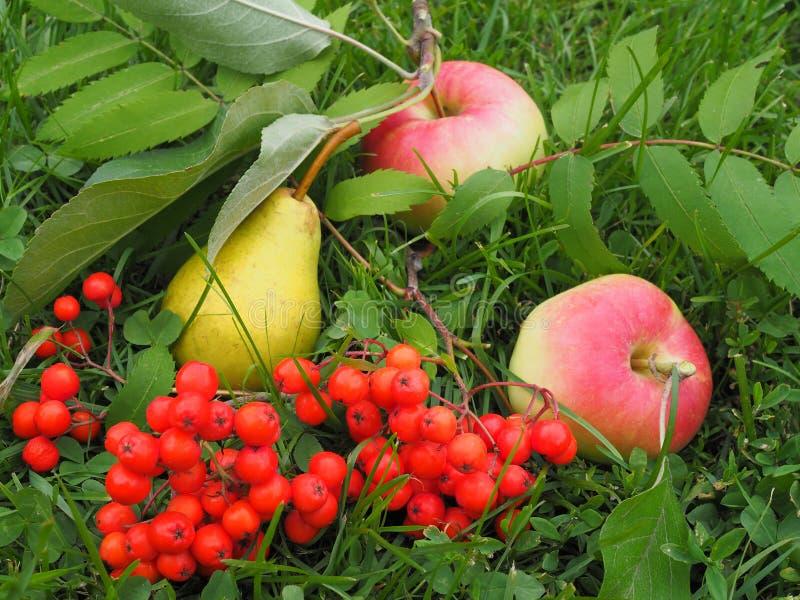 Pera amarela, duas maçãs vermelhas, um ramo de Rowan vermelho fotografia de stock royalty free