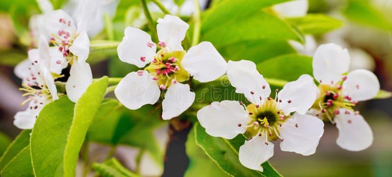 Pera das flores brancas Peras de florescência em abril imagem de stock