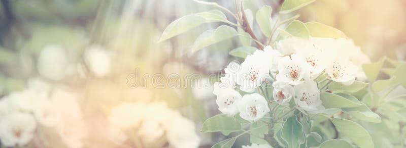 Pera de florescência, fundo natural da primavera das flores coloridas, imagem borrada, espaço da cópia, foco seletivo imagem de stock
