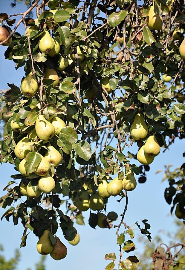 Pera de las frutas frescas imagen de archivo libre de regalías