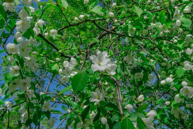 Pera del árbol floreciente con las flores blancas y las hojas verdes claras foto de archivo libre de regalías