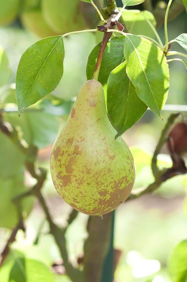 Pera en el árbol, conferencia de la variedad, cierre para arriba fotografía de archivo