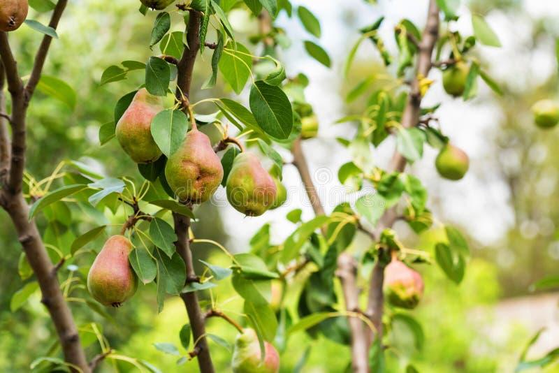 Pera europeia ou pera comum no ramo de árvore imagens de stock