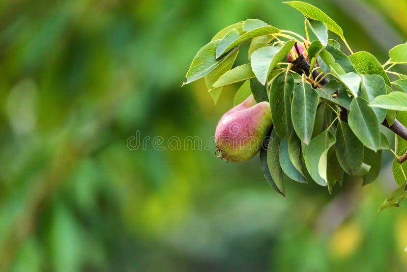 Pera europeia ou pera comum no ramo de árvore imagem de stock royalty free
