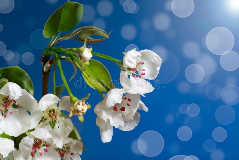 Pera floreciente imagenes de archivo