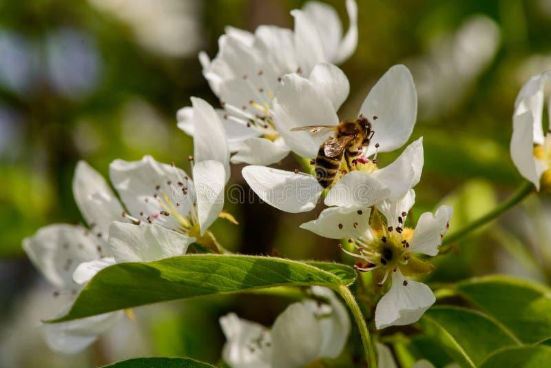 a pera floresce flores da árvore de maçã A mola veio fotografia de stock