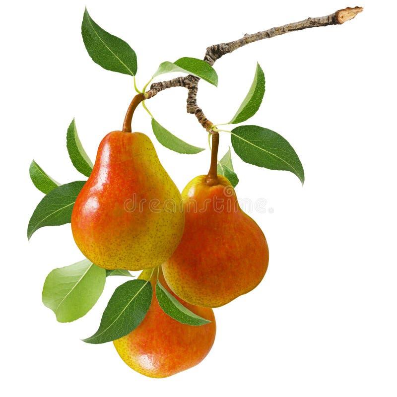 Pera isolada Fruto amarelo vermelho maduro da pera três no ramo com as folhas verdes isoladas em um fundo branco fotografia de stock