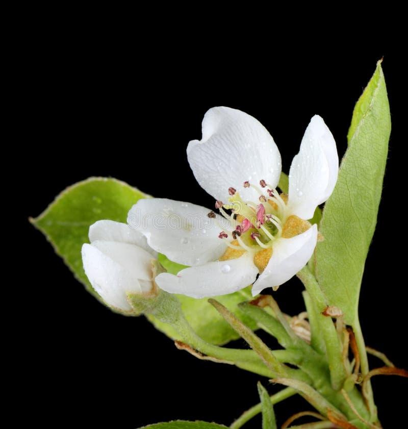 Pera, Pyrus, flor foto de archivo
