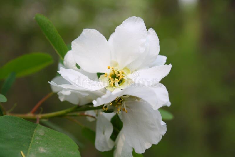 Pera, Pyrus, flor fotos de archivo