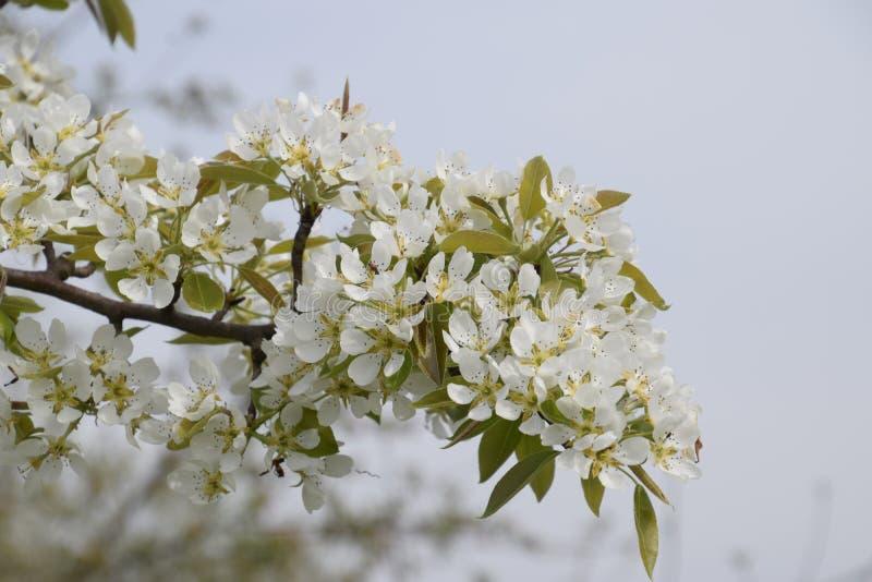 Pera salvaje floreciente en el jardín fotografía de archivo