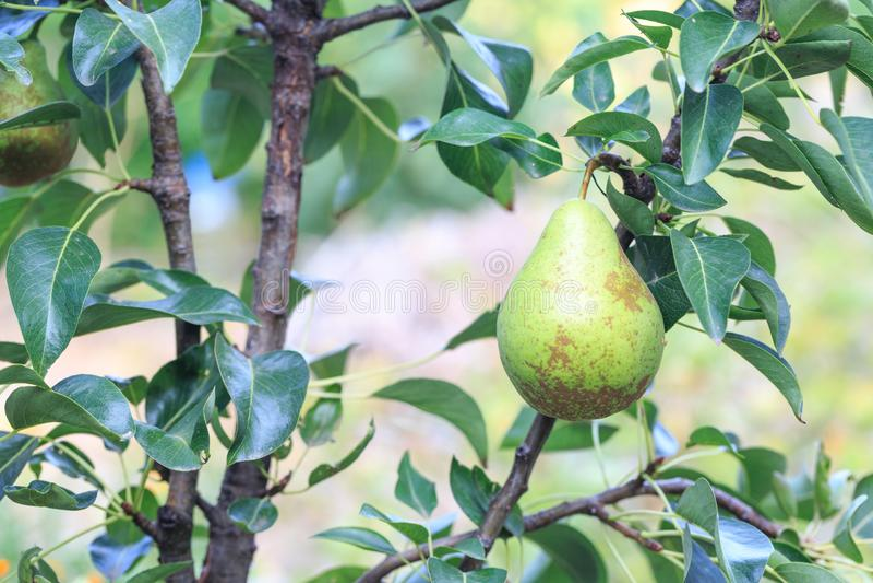 Pera verde que pendura no ramo da árvore de pera fotografia de stock