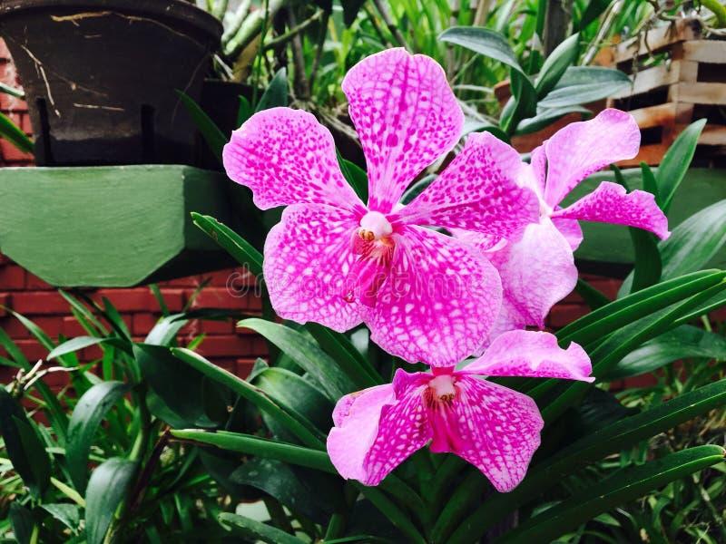 Peradeniya orchid flower. Kandy srilankan peradeniya orchid flowers royalty free stock photo