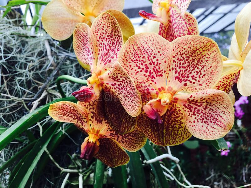 Peradeniya orchid flower. Kandy srilankan peradeniya orchid flowers stock photo