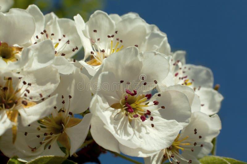 Peral del flor fotografía de archivo