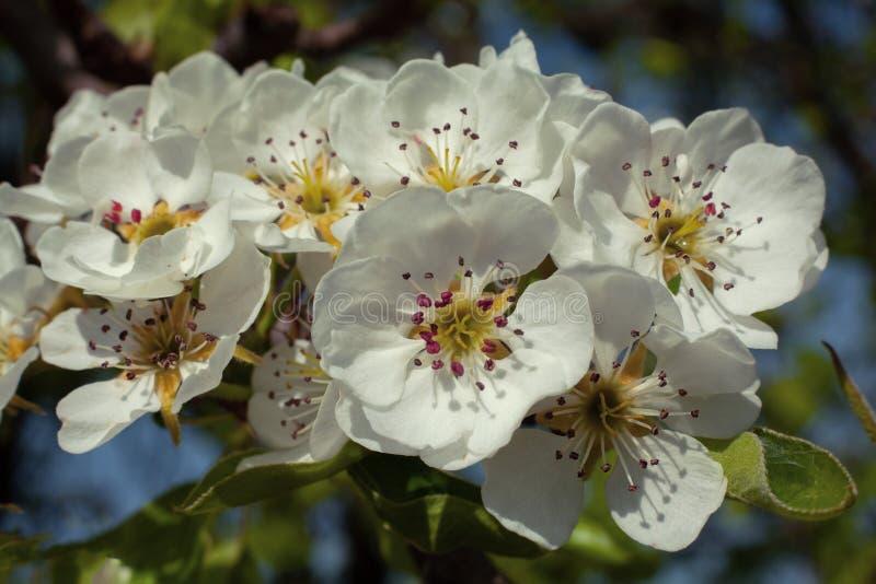 Peral del flor imágenes de archivo libres de regalías