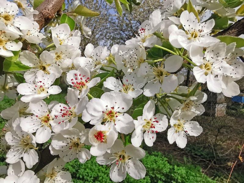 Peral en flor fotos de archivo libres de regalías