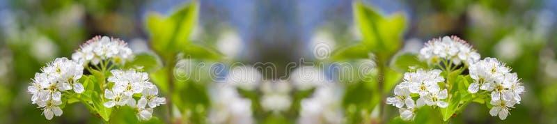 Peral floreciente de la primavera foto de archivo