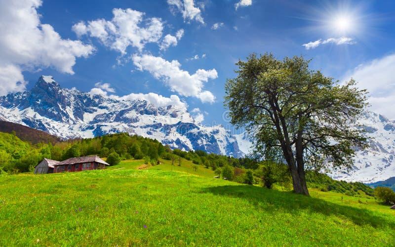 Peral floreciente en primavera en las altas montañas fotos de archivo