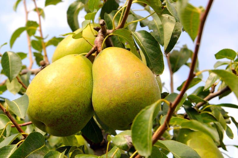 Peras amarelas na árvore de pera imagem de stock