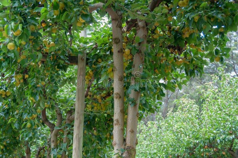 Peras amarillas maduras del nashi en un árbol fotografía de archivo