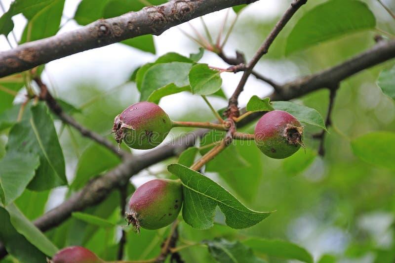 Peras de amadurecimento da pera suíça da água do cultivar imagem de stock