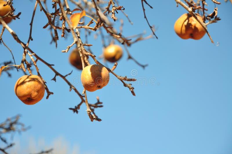 Peras douradas na árvore de pera fotografia de stock royalty free