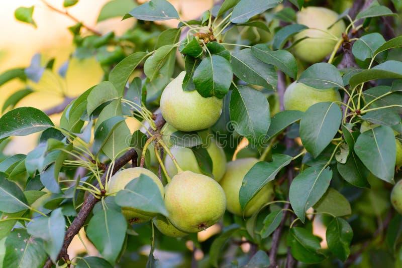 Peras en árbol en el jardín imagen de archivo