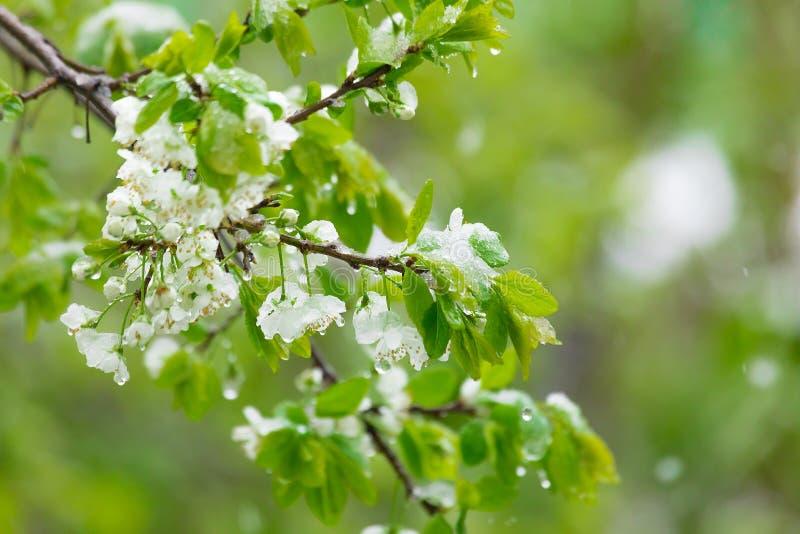 Peras florecientes llenadas de nieve Primavera fotografía de archivo