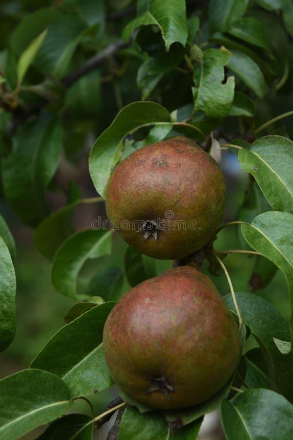 Peras hermosas en árbol fotos de archivo libres de regalías
