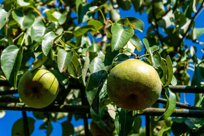 Peras maduras en el árbol fotos de archivo