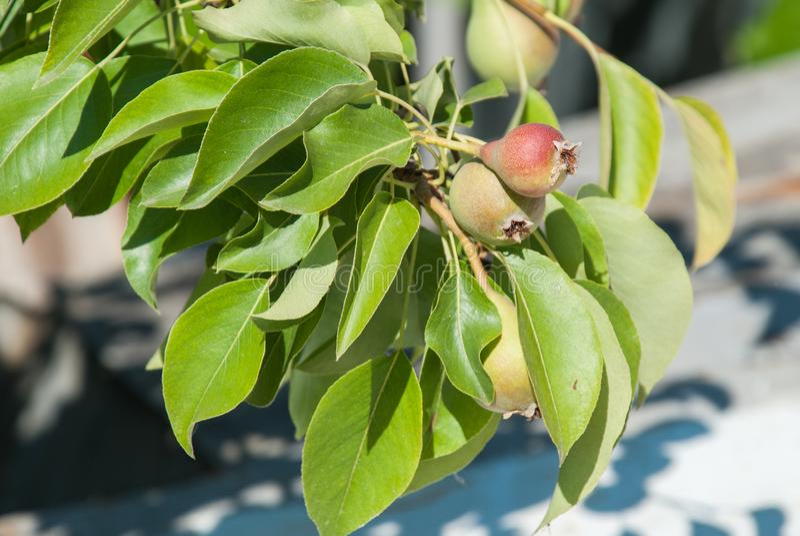 Peras orgánicas sanas verdes jovenes sabrosas que cuelgan en una rama con la profundidad del campo baja fotografía de archivo