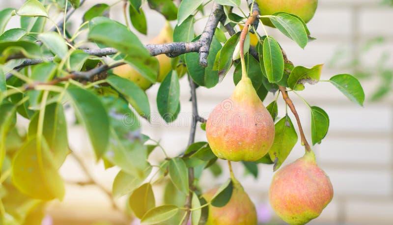 Peras orgánicas sanas verdes jovenes sabrosas que cuelgan en una rama frutas sanas de la cosecha del otoño fotos de archivo