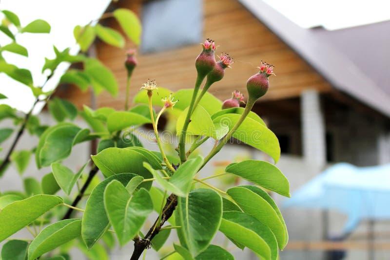 Peras pequenas na primavera fotografia de stock